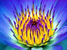 Lotus Azul - Florais de Saint Germain