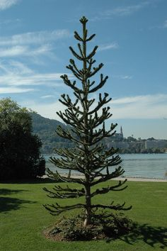 Araucaria araucana au bord du lac d'Annecy