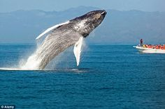 Samana Bay is a mating ground and nursery for humpback whales from January to March (file image)