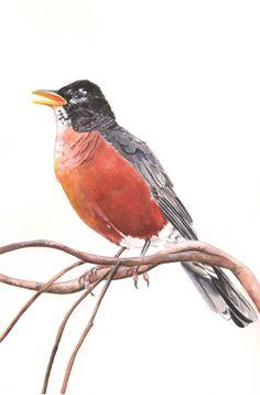 American Robin watercolor painting print of by LouiseDeMasi
