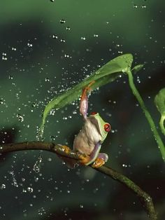 Global Gallery Nature Photographs Red-Eyed Tree Frog in Rain, Native To Central And South America by Michael Durham Photographic Print on Canvas Si. Les Reptiles, Reptiles And Amphibians, Frog Pictures, Animal Pictures, Beautiful Creatures, Animals Beautiful, Animals And Pets, Cute Animals, Terrarium Reptile