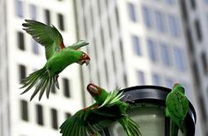 The world famous wild parrots of san francisco.