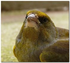 Greenfinch, Parcs, Champs, Feathers, Europe, Bird, Nature, Animaux, Belgium