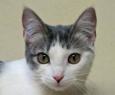 Adopt Bethanne @ Feline Rescue,St. Paul, MN. She is a sweet little kitten, playful, gets along with other cats