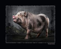 Portrait Photographer of the Year 2013 finalist, at Animal Portrait category - Oink i hate christmas Pet Portraits, Portrait Photographers, Hate, Christmas, Blog, Animals, Navidad, Animaux, Weihnachten
