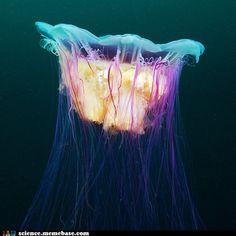 Gorgeous Jellyfish