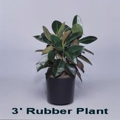 Rubber Plant - Expo Ease Plant Services Rubber Plant, Plant Design, Plant Decor, Special Events, Planter Pots, Plants, Rubber Tree, Planters, Plant