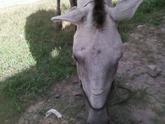 Minha égua Apaloosa no Sidilândia em 30/05/2013.