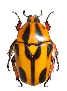 Dilochrosis walteri
