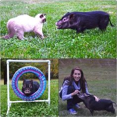 My network of pig friends has extended to Missouri at @PurinaFarms #pigs #Missouri #pets