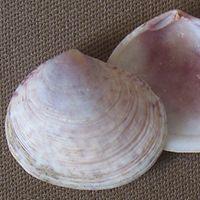 Semele purpurascens