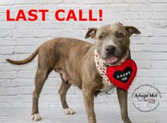 SAFE --- MUNECA (A1669998) I am a female brown brindle and white Staffordshire Bull Terrier and American Staffordshire Terrier.  The shelter staff think I am about 3 years old.  I was found as a stray and I may be available for adoption on 01/07/2015. — hier: Miami Dade County Animal Services. https://www.facebook.com/urgentdogsofmiami/photos/pb.191859757515102.-2207520000.1421108087./909888272378910/?type=3&theater