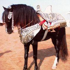 Berber horse ready for the Fantasia feast. Morocco