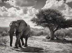 アフリカゾウの散歩 | ナショナルジオグラフィック日本版サイト