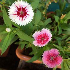 Amo essas! �� #nofilter #flores #plantas #meujardim #vidanojardim #minhasplantas  #flower #petal #nature #plants #blossom  #flowerslovers #flowerporn #botanical #floral #flowermagic #instablooms #bloom #floweroftheday http://gelinshop.com/ipost/1516177140742296773/?code=BUKixOSgxTF