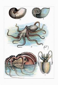 Cephalopods - Nautilus, Octopus, and Squid