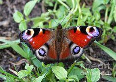 """""""Peacock Butterfly"""" by Carol Groenen  #butterfly #butterflies #nature #carolgroenen  carol-groenen.artistwebsites.com"""