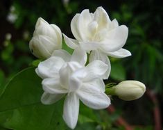 1 pack about 50 pieces white jasmine Seeds, fragrant plant arabian jasmine Flower seeds for home & garden Jasmine Oil, White Jasmine, Jasmine Plant Indoor, Indoor Plants, Flower Images, Flower Photos, Planting Seeds, Planting Flowers, White Flowers