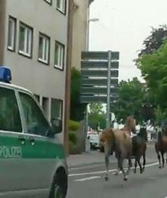 TOTAL VERGALOPPIERT +++ 90 MINUTEN VERFOLGUNGSJAGD IN MÖNCHENGLADBACH Entlaufene Fohlen halten Polizei auf Trab