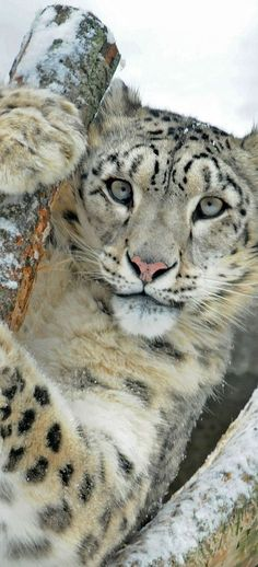 snow leopard, one of the most endangered big cats on the planet! I Love Cats, Big Cats, Cats And Kittens, Cute Cats, Cat Fun, Funny Cats, Nature Animals, Animals And Pets, Cute Animals