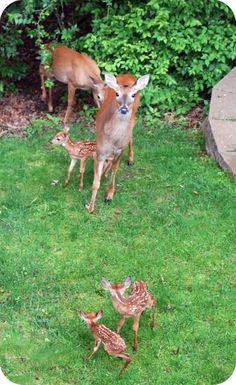 Baby deer!  These babies look like the little ones we had here in our yard last Spring.  Hoping for more this year!