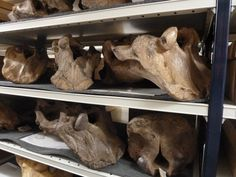 Twitter / DeepFriedDNA: #FossilFriday Shelf upon shelf ...
