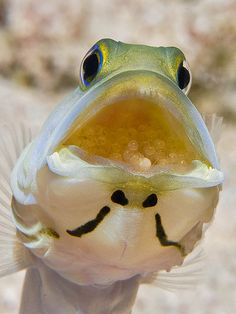 Yellowhead Jawfish - Little Cayman Island (this is a male, incubating eggs laid by the female)