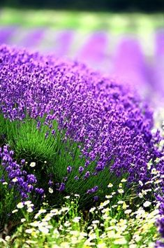 Lavender is a flowering plant in the mint family. Its aroma has been shown in human studies to slow down heart rate, slow blood pressure and put you in a relaxed state. Herb Garden, Garden Plants, Purple Flowers, Beautiful Flowers, Color Lila, Lavender Fields, Lavender Blue, All Things Purple, My Secret Garden