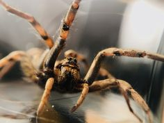 Spiders are considered to be the scariest animals in the world. Though small in size, these eight-legged creatures are among the most fear-striking creepy-crawlies on the earth.Top 10 Most Scary Spiders Common House Spiders, Types Of Spiders, Large Spiders, Scary Spiders, Scary Animals, Nocturnal Animals, Giant Huntsman Spider, Giant Spider, Arktischer Wolf