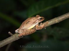 https://flic.kr/p/ywPRf2 | Temple Tree Frog (Kurixalus Idiooticus) | The Temple Tree Frog has a broad head with a triangular, pointed snout. They are usually a pale or medium brown with a dark-coloured stripe running along the spine. The head and body are marbled with dark brown patches and spots and there is often a large, deep brown hourglass-shaped pattern on the central back.  Location: New Taipei City, Taiwan  OLYMPUS DIGITAL CAMERA