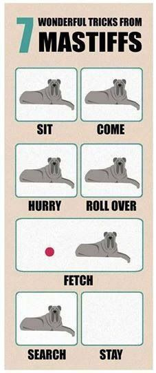 #CaneCorso (Mastiff Tricks.JPG) Shared by Cyndnelson