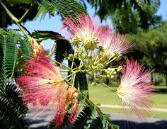 Mimosa blooms, Biloxi, MS