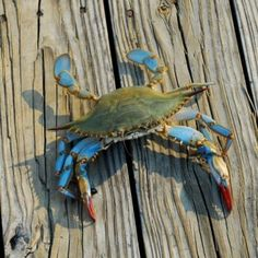 Best Blue Crab Bait: Well, crab fishing by the sound of it is quite dreadful. This is because crabs are known to be ferocious, fast and overly Crab Painting, Watercolor Painting, Watercolor Ideas, Acrylic Paintings, Kraken, Crab Tattoo, Farm Pond, Louisiana Art, Colors