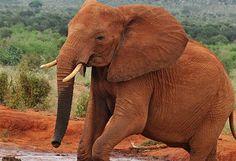 Schützen Sie Malis letzte 300 Elefanten