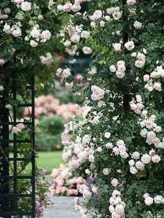 Pale pink rambler - like the rose that covered the back of our house as I grew up. Lovely