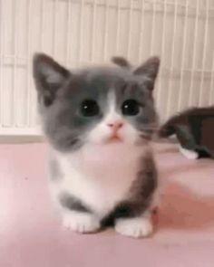 Baby Animals Super Cute, Cute Baby Cats, Cute Kitten Gif, Cute Little Animals, Cute Cats And Kittens, Black Kittens, Funny Kittens, Adorable Kittens, Kitty Gif