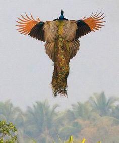 Peacock in flight (via Reddit)