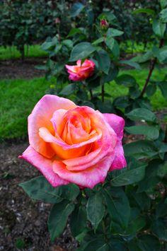 Portland Rose 1 - Johnson-Miles photo