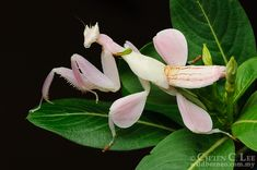 The Orchid Mantis (Hymenopus coronatus) is an ambush predator. Utilizing its superb camouflage it waits for unsuspecting insect prey to come withing striking distance. Cool Insects, Bugs And Insects, Beautiful Bugs, Amazing Nature, Unique Animals, Cute Animals, Small Animals, Mantis Tattoo, Orchid Mantis