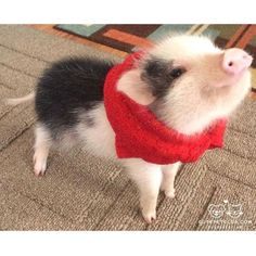 From @paddington_the_pig: OINK! Im Paddington the Pig. Nice to meet you all. I love to bring joy to people lives. My favorite thing to do is come and work as a therapy pig for my moms special needs classroom! #cutepetclub. [source: http://ift.tt/1ReuQT4 ]
