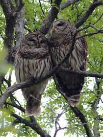 Dallas Trinity Trails: Barred Owls -- Troubadours Of The Trees