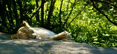 Lioness at rest by ankneyd, via Flickr