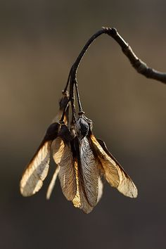 Sycamore seeds become mini helicopters. What fun we have with them :) (They look like maple seed pods/wings to me; Sycamore Seed, Foto Macro, Fotografia Macro, Seed Pods, Belleza Natural, Natural Forms, Macro Photography, Photography Flowers, Belle Photo