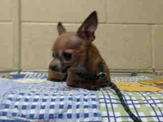 """TINY 2.6 LB 10 YEAR OLD TURNED IN WITH HER BONDED FRIEND! OWNER SAID SHE IS """"TOO OLD"""". PLEDGES AND RESCUE NEEDED!  A4791592 My name is Babby and I'm an approximately 10 year old female chihuahua sh. I am not yet spayed. I have been at the Downey Animal Care Center since January 13, 2015, available on Jan, 13, 2015. You can visit me at my temporary home at D420. https://www.facebook.com/photo.php?fbid=796359253777742&set=a.621812584565744&type=3&theater"""