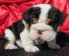 Black tri bulldog puppy picture
