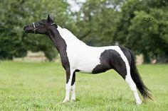 beautiful mini horse | American Miniature Horse Beautiful Horses