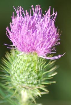 Beware of These Noxious Weeds! 11 Plants to Watch Out For: Bull Thistle: Invasive Noxious Weed