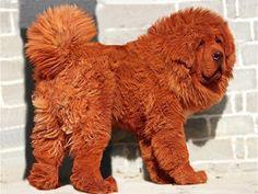 http://dicasdocao.blogspot.com.br Os cachorros atualmente são tão distintos entre si que chegam a parecer animais de espécies diferentes. Há cachorros minúsculos, pode-se dizer que mais comuns. Dificilmente é encontrar por aí cachorros gigantes como esses, que parecem que saíra de livros de literatura fantástica! Confira a lista das 15 maiores raças de cães do mundo.