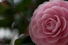 It's only natural pic Camellia  Bancho, Tokyo, Japan March 2015  Photo: Kunito Imai  https://www.facebook.com/1407474839482710/photos/pb.1407474839482710.-2207520000.1432160104./1641717412725117/?type=1&theater