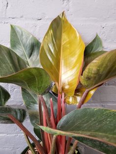 Improving Upon Office Environment Air Excellent With Indoor Crops - Superior For Business Philodendron 'Rojo Congo' Garden Plants, Indoor Plants, Indoor Gardening, Gardening Tips, Plant Growth, Plant Care, Green Leaves, Plant Leaves, Apartment Plants